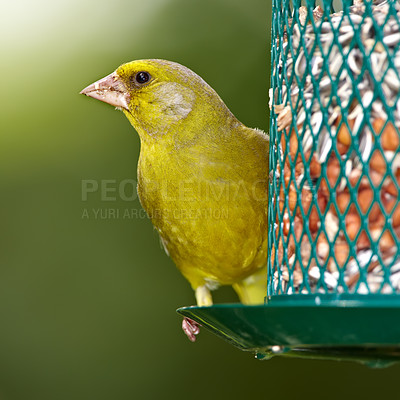 Buy stock photo A telephoto of a beautiful greenfinch in summertime