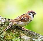 A photo of a young sparrow