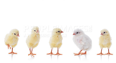 Buy stock photo Five small chickens isolated on a white background - Individuality
