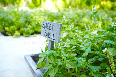 Buy stock photo Cultivation of a sweet basil with sign board - Vegetable garden