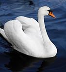 Swan at a quiet lake