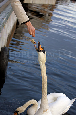 Buy stock photo Swan eating bread at a quiet lake