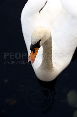 Buy stock photo Beautiful swan swimming at a quiet lake