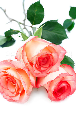 Buy stock photo Roses with cream and pink-edged petals resting on a white background