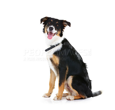 Buy stock photo Studio shot of a cute border collie isolated on white