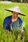 A rice farmer in Thailand harvesting rice wearing a traditonal hat