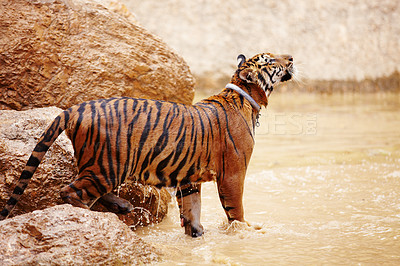 Buy stock photo Beautiful tiger standing in the water while sniffing the air