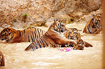 Streak of tigers playing in the water