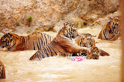 Buy stock photo Tigers playing and fighting in the water