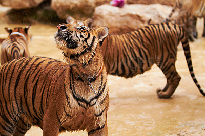 Buy stock photo Streak of tigers playfully splashing in the water