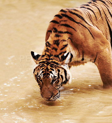 Buy stock photo Beautiful tiger drinking water from a dam