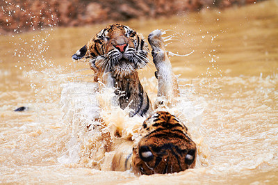 Buy stock photo Two tigers battling it out in in a dam