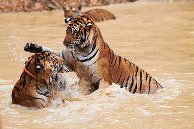 Buy stock photo Two playful tigers fighting in the dam
