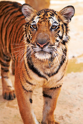 Buy stock photo Beautiful tiger stands and looks at the camera