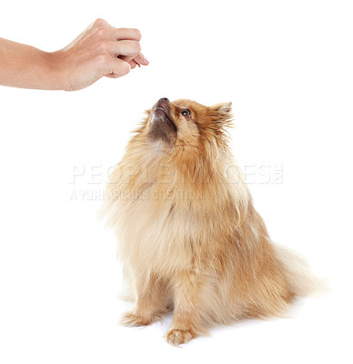 Buy stock photo Obedient pomeranian waiting to be handed a treat by its trainer