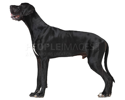 Buy stock photo Profile of a well-groomed great dane standing isolated on white - full-length