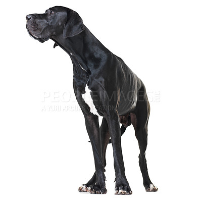 Buy stock photo Alert great dane standing isolated on white and looking away - full-length