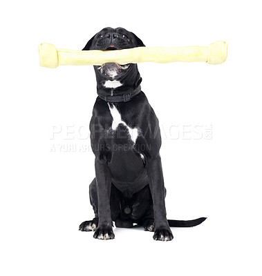 Buy stock photo A Boxer holding a very big bone in his mouth