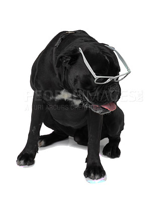 Buy stock photo A Boxer wearing glasses