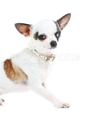Buy stock photo Portrait of a cute Chihuahua against a white background