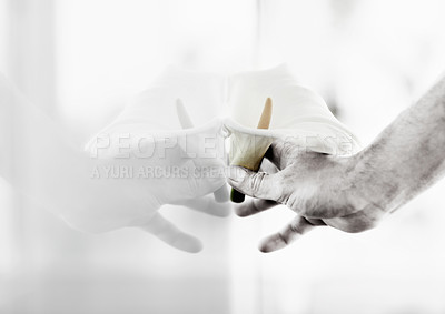 Buy stock photo Closeup of a hand pressing a Calla lilly against a window