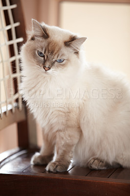 Buy stock photo A beautiful fluffy siamese cat sitting on a chair