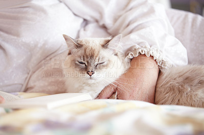 Buy stock photo A cropped shot of a beautiful siamese cat lying on a bed with its owner