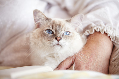Buy stock photo A closeup cropped shot of a fluffy persian cat lying on a bed with its owner