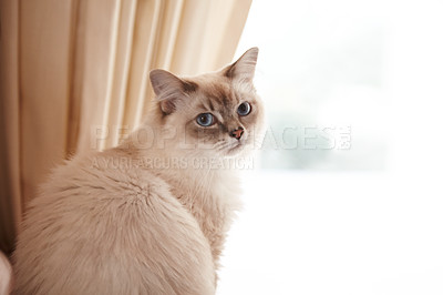 Buy stock photo Portrait of an adorable siamese cat sitting at a window