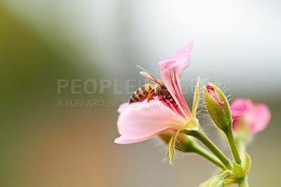 Buy stock photo Cropped image of a bee sitting on a pink flower