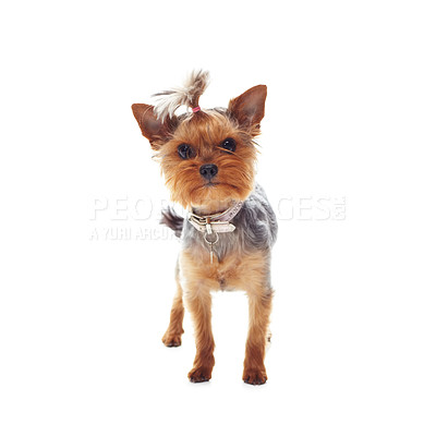 Buy stock photo Studio shot of a cute terrier isolated on white