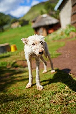 Buy stock photo A shot of a white dog with a village in the background surrounded by nature