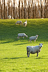 A photo of sheep on a field in New Zealand