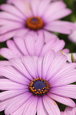 Buy stock photo A very sharp and detailed photo of Natural purple flowers closeup