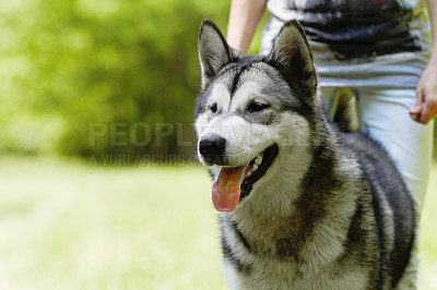 Buy stock photo A cropped shot of an owner letting his husky of the lead in the park