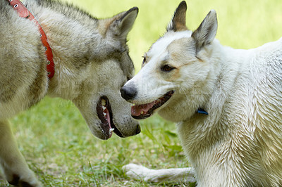 Buy stock photo A cropped shot of playful huskies greeting each other in the park