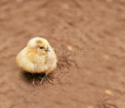 Buy stock photo A little chick standing on the ground outdoors
