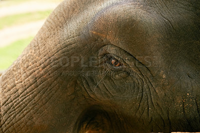 Buy stock photo Closeup shot of an Indian elephant in it's natural habitat