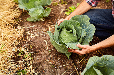 Buy stock photo Closeup shot of a man looking at cabbage growing in his organic garden
