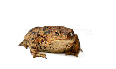 Buy stock photo Toad is a common name for certain frogs, especially of the family Bufonidae, that are characterized by dry, leathery skin, short legs, and large bumps covering the parotoid glands