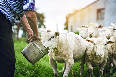 Buy stock photo Cropped shot of a farmer feeding sheep on a farm