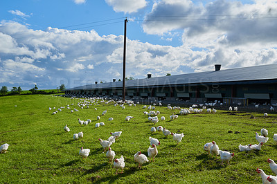 Buy stock photo Shot of a flock of chickens gracefully walking around on a green grass field outside on a farm
