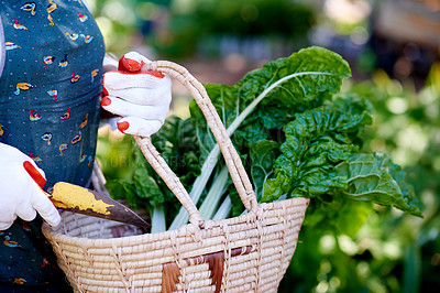 Buy stock photo Cropped shot of a woman holding a basket of freshly picked spinach in her backyard