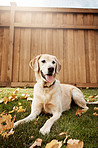 Labradors are one of the most lovable and loyal dogs