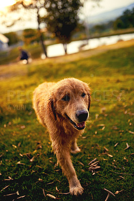 Buy stock photo Full length shot of a cute labrador walking around off leash in a park