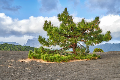 Buy stock photo La Palma island, Volcano ashes and trees, Canary Spain