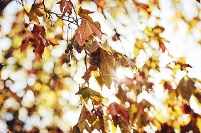 Buy stock photo Closeup shot of leaves on a tree in autumn outside