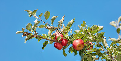 Buy stock photo Fresh apples in my garden a sunny afternoon