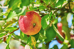 Fresh apples a sunny day in the garden
