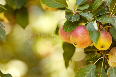 Buy stock photo Fresh apples in the tree